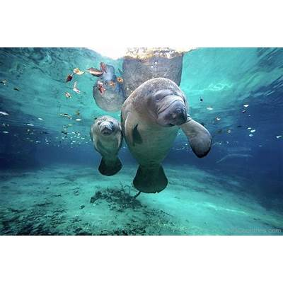 National Animal Of Costa Rica -West Indian Manatee