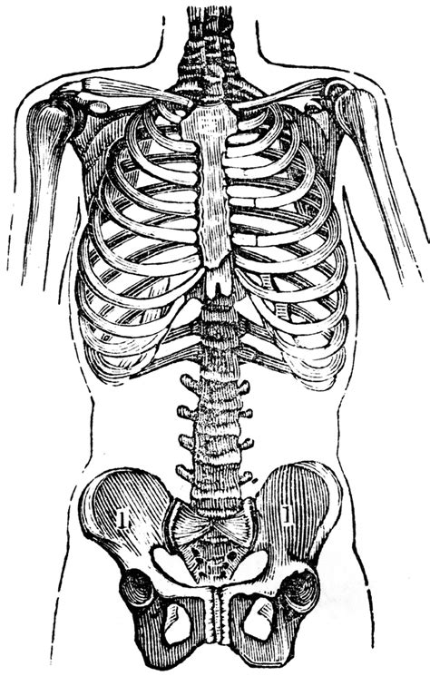 chest  pelvis clipart