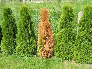 Lebensbaum Wird Braun : thuja smaragd schneiden lebensbaum hecke thuja smaragd 1a ~ Lizthompson.info Haus und Dekorationen