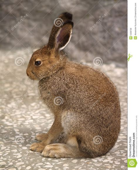 hare  profile royalty  stock images image