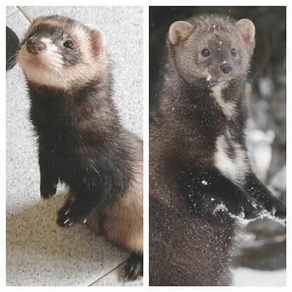 Fisher Cat Ferret Collage Animal Edited Legend