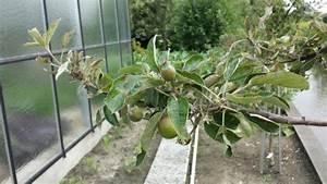 Appelboom Ziekte