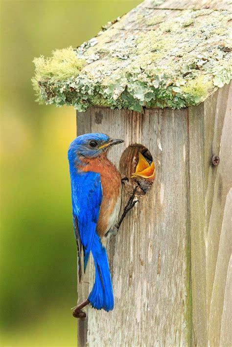 build  nest box   spring birds spring birds birds backyard birds