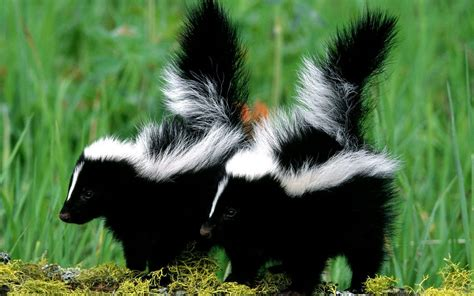 Skunk Wallpaper - WallpaperSafari