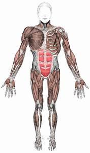 Sistema Muscular  U2013 Wikip U00e9dia  A Enciclop U00e9dia Livre