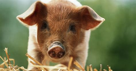 animals eat farm animal revolution waking finally horrific treat ways 1000