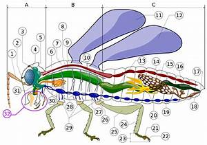 File Insect Anatomy Diagram Svg