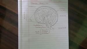 Biology Brain Diagram