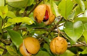 Nutmeg Cultivation Information Guide | Agrifarming.in