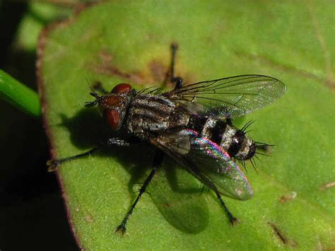 Types  Flies Pictures  Fly Identification