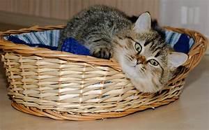 Panier Osier Chat : fonds d 39 ecran chat domestique voir museau panier en osier animaux t l charger photo ~ Teatrodelosmanantiales.com Idées de Décoration