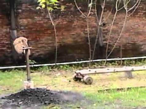 Do Barn Owls Eat Cats by Barn Owl Vs Cat