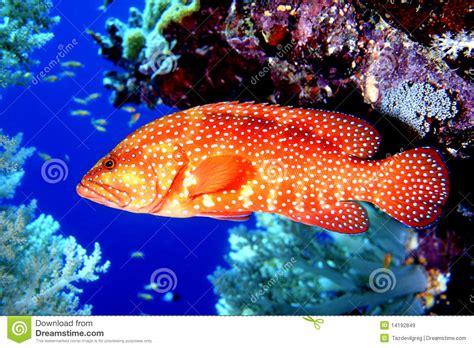 trout coral trucha forelle trota fish korallenrote grouper corail truite plectropomus corallo coralina leopardus mero truta reef underwater aquarium hides