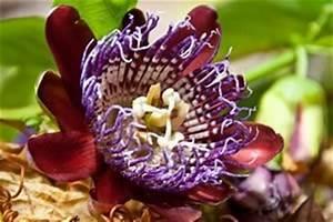 Pflege Passionsblume Zurückschneiden : passionsblume pflege berwintern passiflora ~ Lizthompson.info Haus und Dekorationen