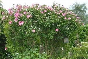 Taille De L Hibiscus : arbustes ~ Melissatoandfro.com Idées de Décoration