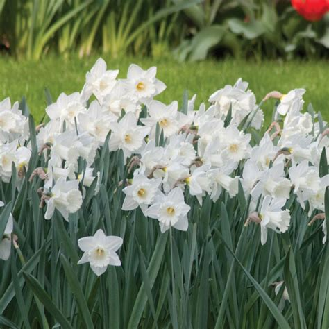 longfield gardens narcissus mount bulbs 100 pack