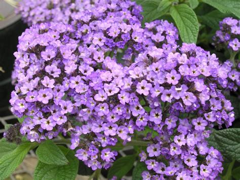 heliotrope flower meanings of different bridal flowers flowers magazine