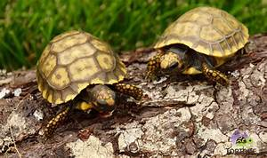 Yellow Foot Tortoise for sale Baby yellow foot tortoise ...