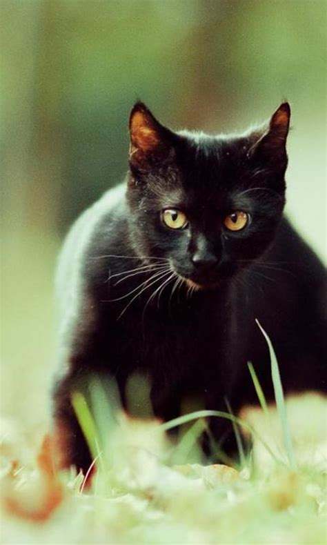 black cats wallpapers android apps  google play