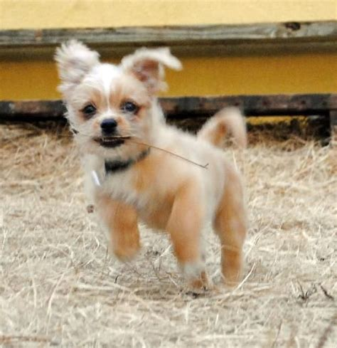 shichi dog info temperament training puppies pictures