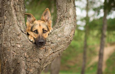 photography german shepherd trees dog wallpapers hd