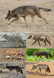 Canis - Wikipedia