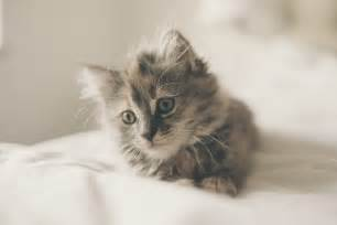 small cat breeds 8 small cat breeds you may not heard of cbwp