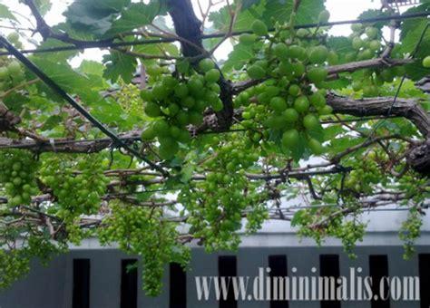 manfaat pohon buah  teras rumah minimalis