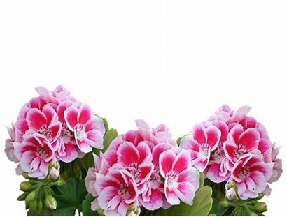 Plant Balcony Geranium Summer Deer Flowers Resistant