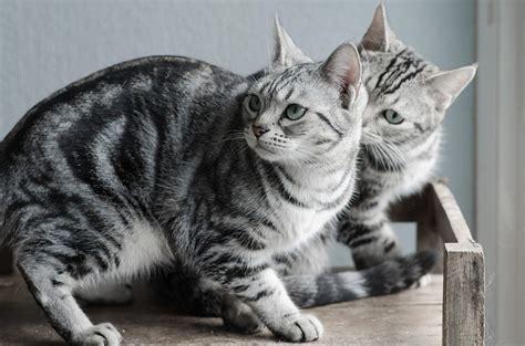 Shorthair Cat - 50 lovely american shorthair cats golfian