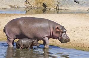 Hippo : définition de hippo