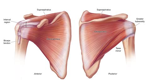 Acute Tears Of The Rotator Cuff