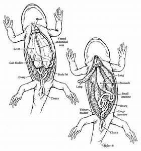 Salamander Dissection Diagram Diagram Of The Salamander Chim