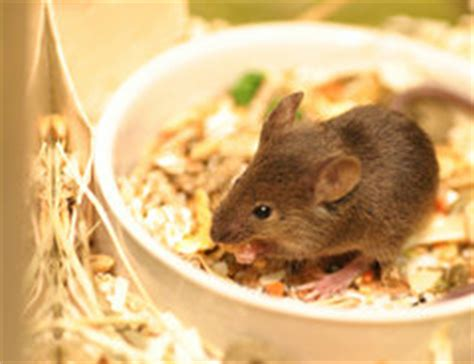 Was Essen Mäuse Gerne by Was Fressen M 228 Use Gerne Richtige F 252 Tterung Und Pflege