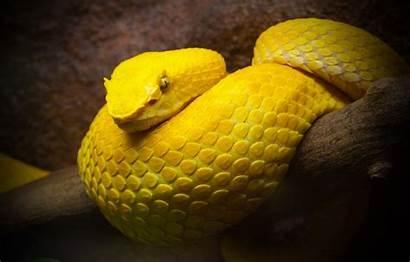 Animals Snake Yellow Wallpapers Rattlesnake Desktop Explain