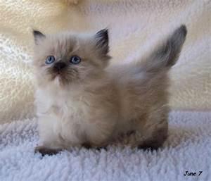 Adorable Munchkin Kittens - Love Meow