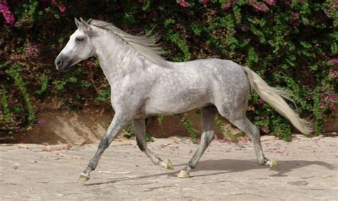horse andalusian horses facts most canada history lover important know weight body
