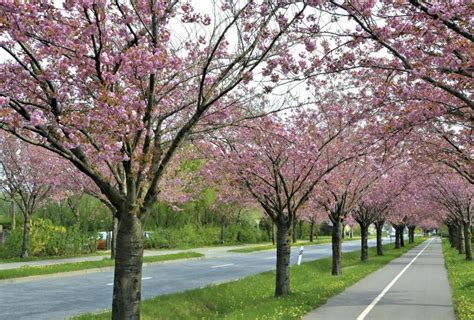 flowering cherry tree problems japanese cherry tree facts with pictures ehow