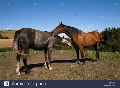 male female horses courtship behaviour alamy