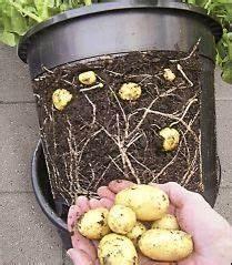Bohnen Anbauen Anleitung : die besten 17 ideen zu kartoffeln anbauen auf pinterest kartoffelturm wachsender spinat und ~ Whattoseeinmadrid.com Haus und Dekorationen