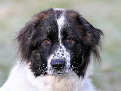 bulgarian shepherd dog information characteristics