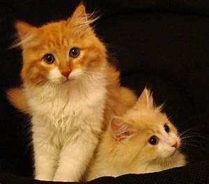 Hypo-Allergenic Siberian Cat Testimony - Croshka Siberians