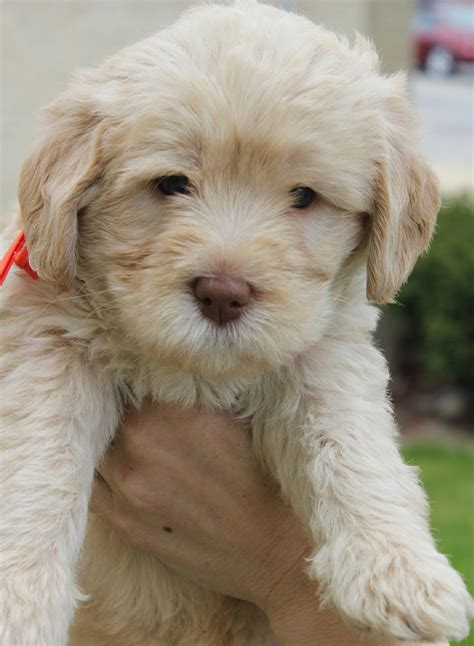 Mini Aussie Non Shedding by 1000 Images About Labradoodle On Spaniels