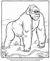 Gorilla Coloring Pages Animals Printable Sheet Animal sketch template