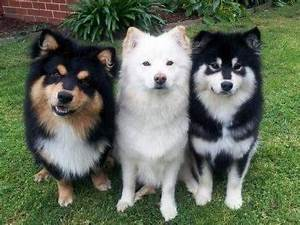 How much do Pomsky puppies cost? - Quora