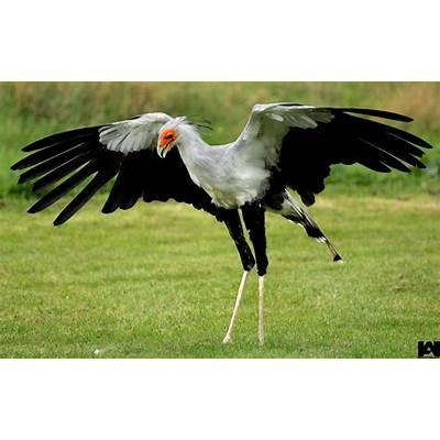 secretary bird 02EAGLES / HAWKS & FALCONSPinterest