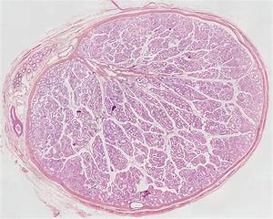 File:Testis histology 001.jpg - Embryology