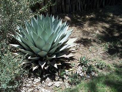Agave Mexico Grown Sun Well Trees Plant