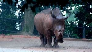 how to make estimates javan rhinoceros taking a heavy shower youtube