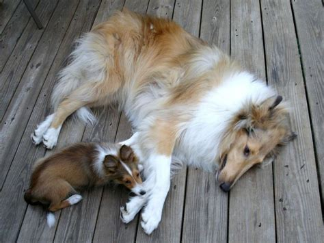 17 best images about collies on pinterest sexy puppys